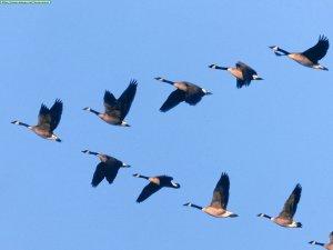 Animals Waterfowl_Wild Formation